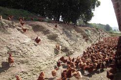 Le Poulailler du Moulnot - MONIN